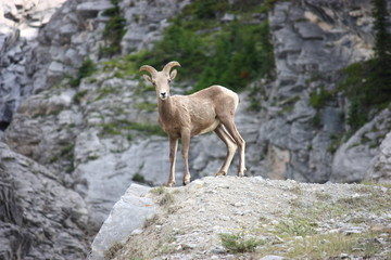Watchful Young Bighorn Sheep