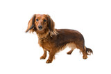 standard long haired dachshund isolated on a white background