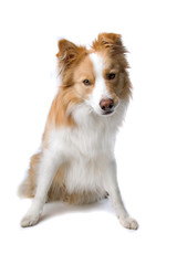 Border collie dog sitting, isolated on a white background