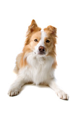 Border collie dog isolated looking at camera isolated on white
