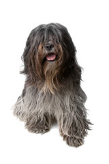 dutch bearded collie dog isolated on a white background