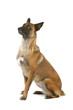 Belgian Shepherd (Malinois) dog isolated on a white background