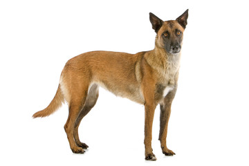 side view of a belgiand shepherd (malinois) standing