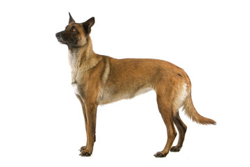 Belgian Shepherd (Malinois) dog isolated on a white background