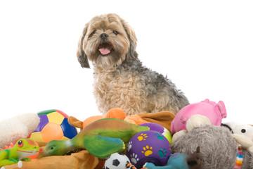 mixed breed dog (shih tzu, maltese) isolated on white background