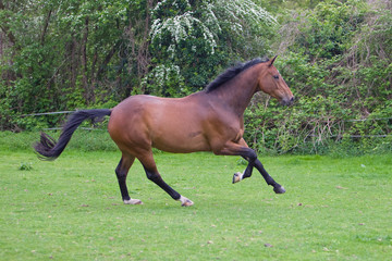 chestnut stallion running
