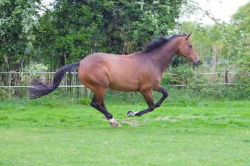 chestnut horse running, shot in nature