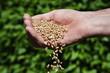 Weizenkörner in einer alten Männerhand - 24826836