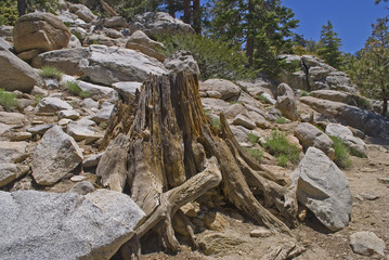 Old Stump, San Jacinto State Park