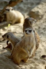 Erdmännchen-Gruppe