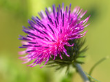 bur thorny flower. (Arctium lappa) on green background poster