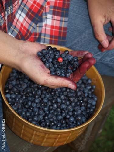 selecting leaves with berries