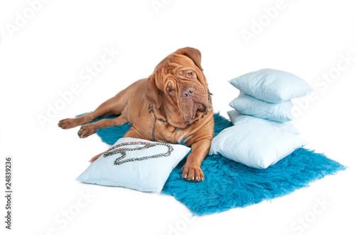 Rich dog Poster