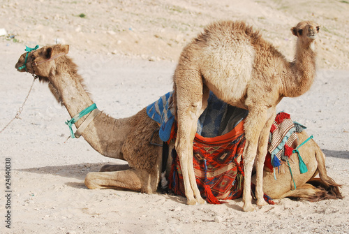 camels family in desert