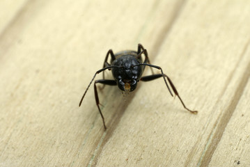 Close-up of a carpenter ant's head