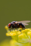 Flesh Fly on Wild Parsnip Umbel