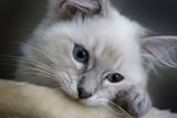Fototapety cute kitten
