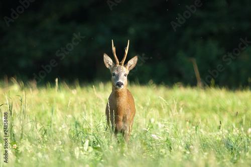 Fotobehang Ree Reh, Roe deer, Capreolus capreolus