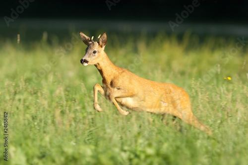 Reh, Roe deer, Capreolus capreolus