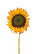 beautiful large sunflower on a white background