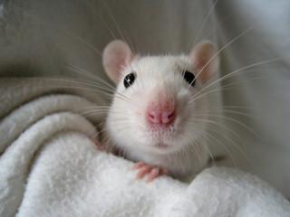 Ratte_5