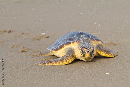 Staande foto Schildpad Tortuga boba adulta (Caretta caretta)