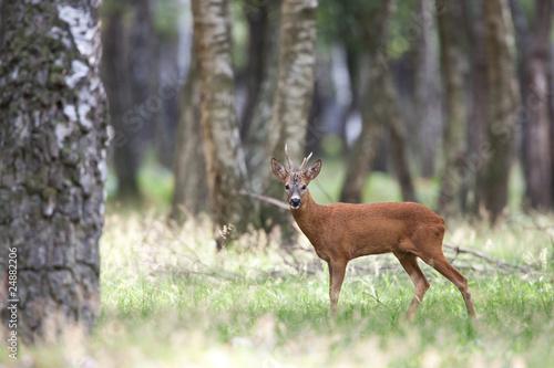 Fotobehang Ree chevreuil brocard cervidé bois animal sauvage mammifère