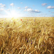 Wheat field and sunny sky