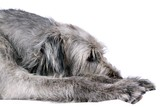 Liegender Irish Wolfhound