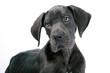 Portrait Deutsche Dogge Welpe