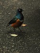 African Superb Starling on the road