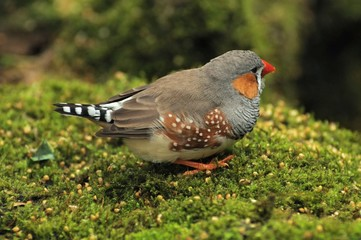 Zebra finch scouring for seeds
