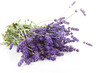 bouquet of plucket lavender over white background