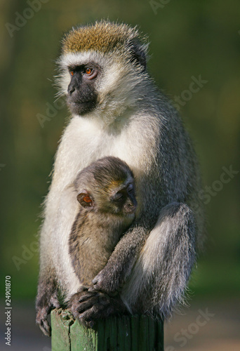 Vervet monkey with baby sucking on a nipple