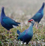 Three Purple Swamphens Porphyrio porphyrio