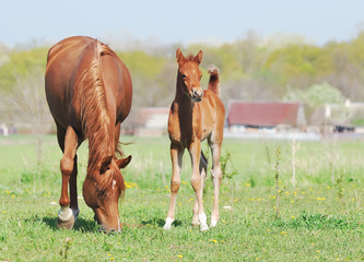 beautiful arabian mare and foal on pasture