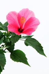 rose mallow close-up