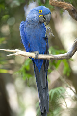 Hyacinth macaw playing in tree, pantanal, brazil