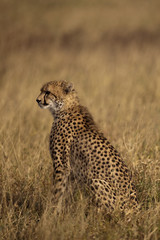 Cheetah in Sabi Sands Private Game Reserve