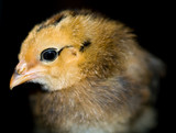 Little yellow and orange fuzzy chick portrait