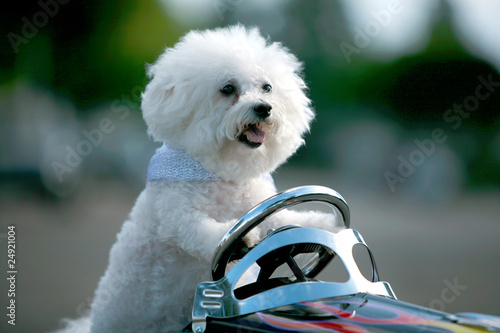 Fifi the Bichon Frise always obeys the traffic laws