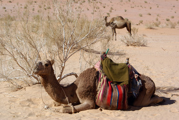 Bush and two camels