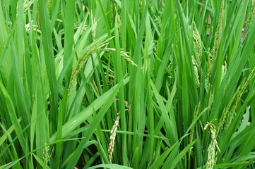Closeup Of Rice Stalks In A Paddy Field