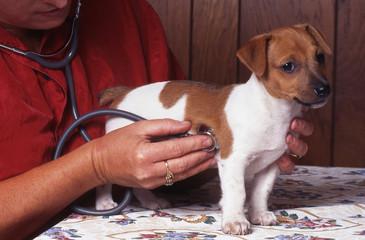 auscultation du jack russell terrier