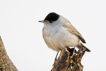 Blackcap Male Perched on Branch High Key Backround