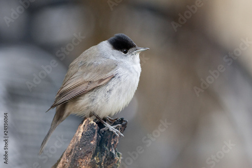Blackcap Male Perched on Branch Profile View