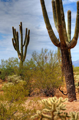 Cereus giganteus Saguaro