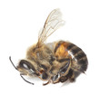 Dead honey bee isolated on white background.