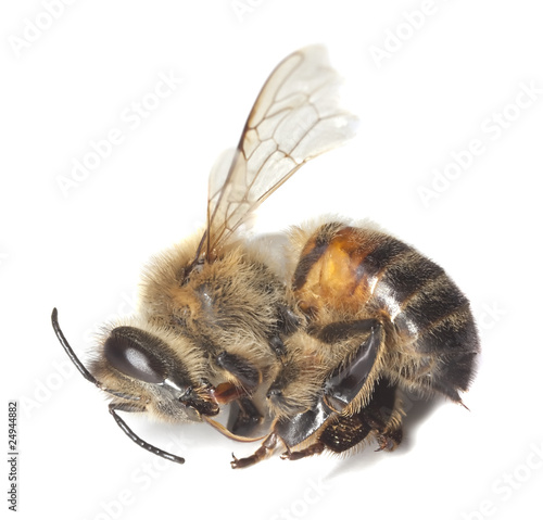 how to find dead bees