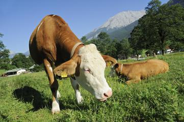 Landwirtschaft, Kühe, Rinder, Bayern